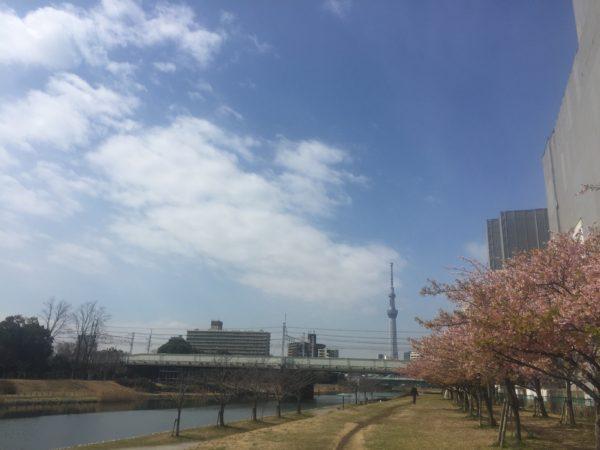 都内で河津桜